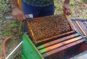 Jual Lebah Madu Koloni