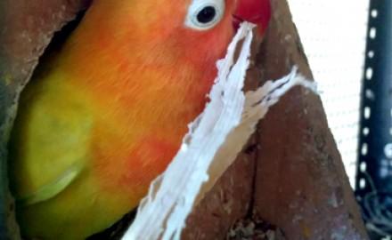 Peluang usaha dari hobi ternak lovebird