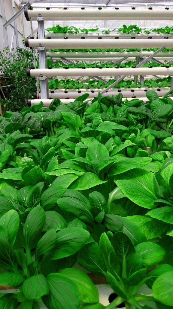 Peluang usaha laris sayur organik