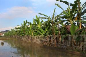 Kebun pisang raja tarub