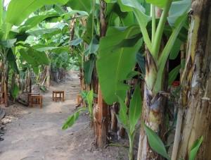 kebun pisang wartawirausaha