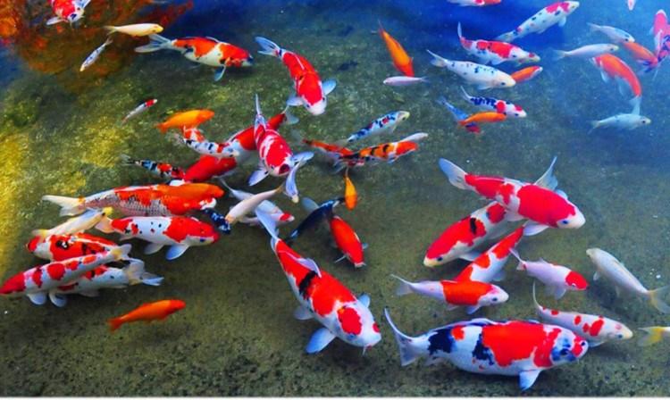 peluang bisnis ekspor ikan hias