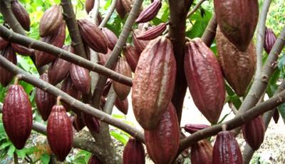 Budidaya kakao
