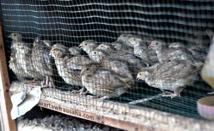 Peluang Usaha Ternak Burung Puyuh