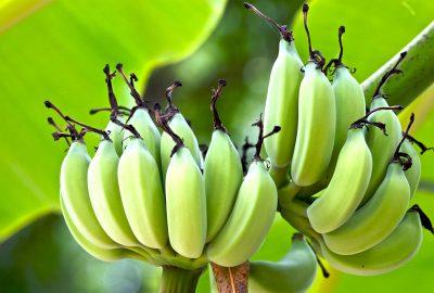 layu fusarium pada tanaman pisang